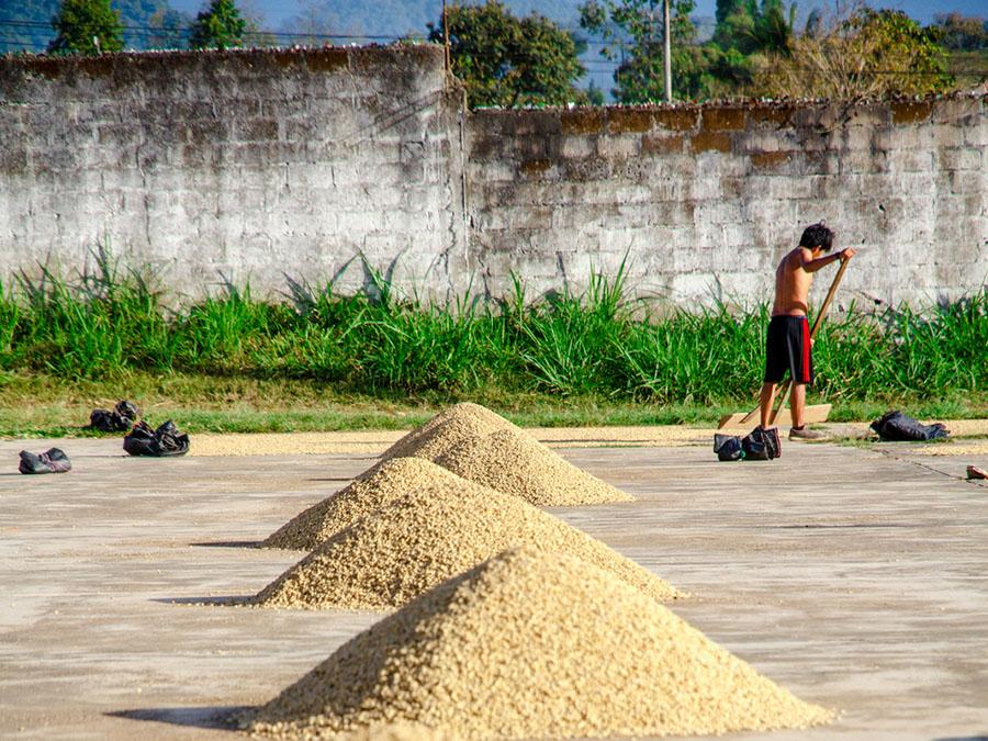 Green coffee is sorted at Cooperativa Agraria Cafetalera Pangoa in San Martin de Pangoa Peru