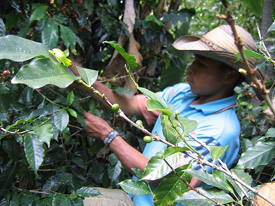 Campesino farmer in El Salvador harvesting shade grown coffee.